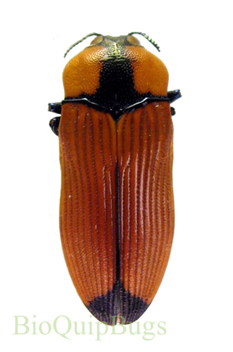 Catalog #110C0906: Castiarina indigesta (click to close)