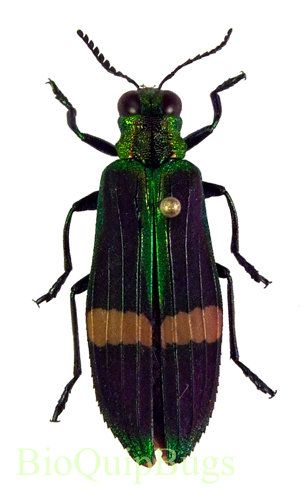 Catalog #110C1155: Demochroa gratiosa (click to close)