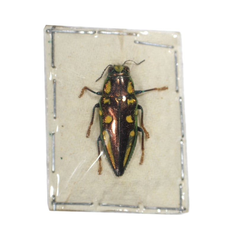 Catalog #110C1425: Buprestidae sp (click to close)