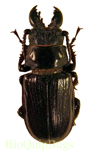 Catalog #126C2070: Cantharocremis pilicipennis  (click to close)