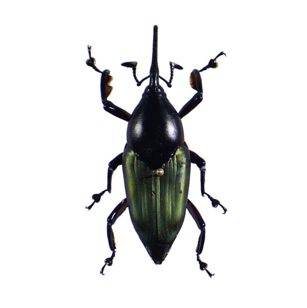Catalog #131C1314: Curculionidae sp (click to close)