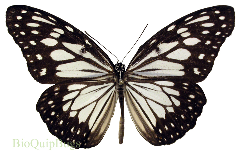 Catalog #18B0058: Ideopsis juventa (upperside) (click to close)