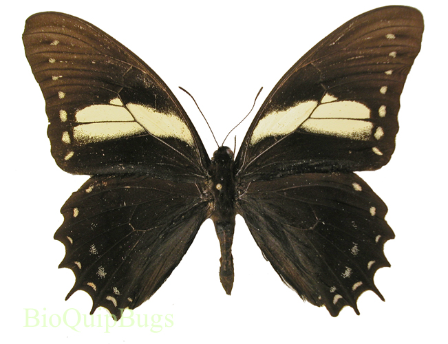 Catalog #1B0296: Papilio aristeus (upperside) (click to close)
