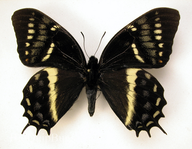Catalog #1B0384: Papilio cacicus mendozaensis (upperside) (click to close)