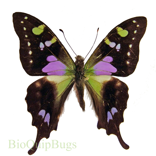 Catalog #1B0500: Graphium weiskei (upperside) (click to close)