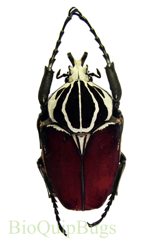 Catalog #1C1000MD: Goliathus goliatus goliatus (+7cm) (click to close)