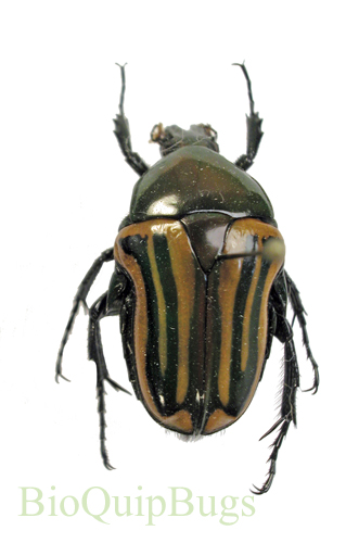 Catalog #1C1073: Coptomia mauritiana fasciata (green form) (click to close)