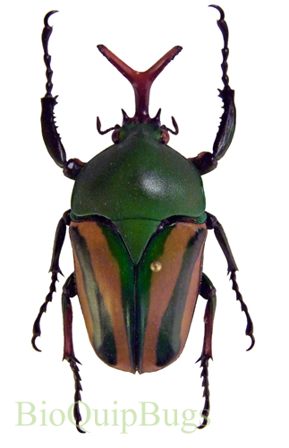 Catalog #1C1212M: Eudicella gralli orientalis (male) (click to close)