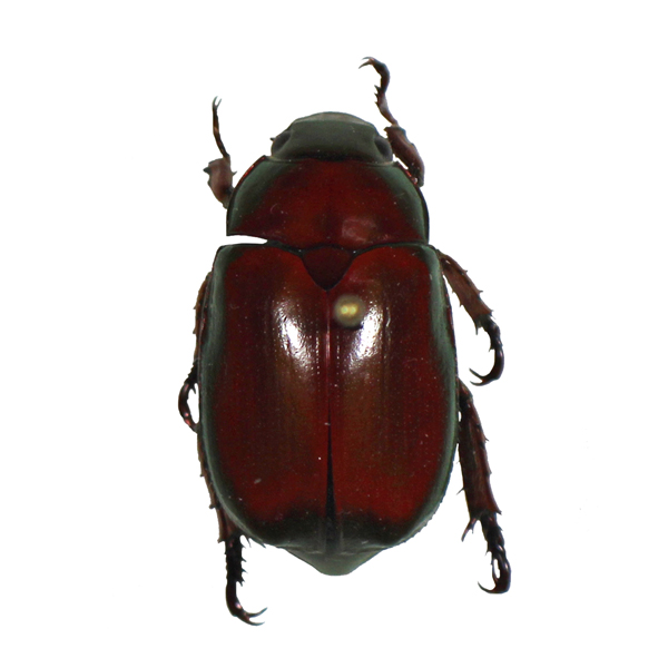 Catalog #1C3238R: Anoplognathus smaragdinus (red form) (click to close)