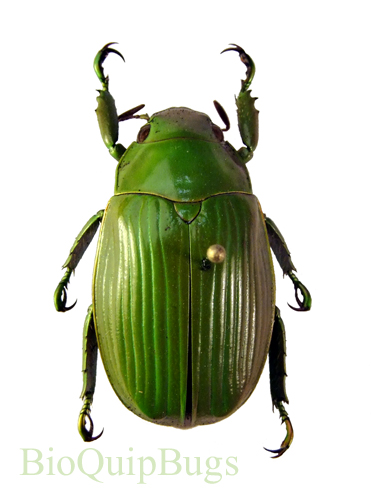 Catalog #1C3523: Chrysina beraudi (click to close)