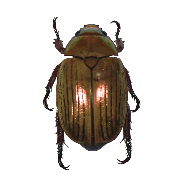 Catalog #1C4028: Anoplognathus boisduvali (click to close)