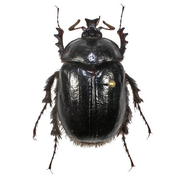 Catalog #1C7506: Pleocoma puncticollis (click to close)