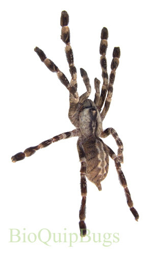 Catalog #1FA273NL: Poecilotheria regalis (4 inches) (click to close)