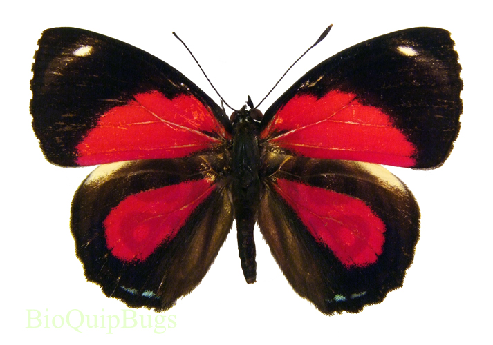Catalog #20B0046: Paulogramma peristera peristera (upperside) (click to close)