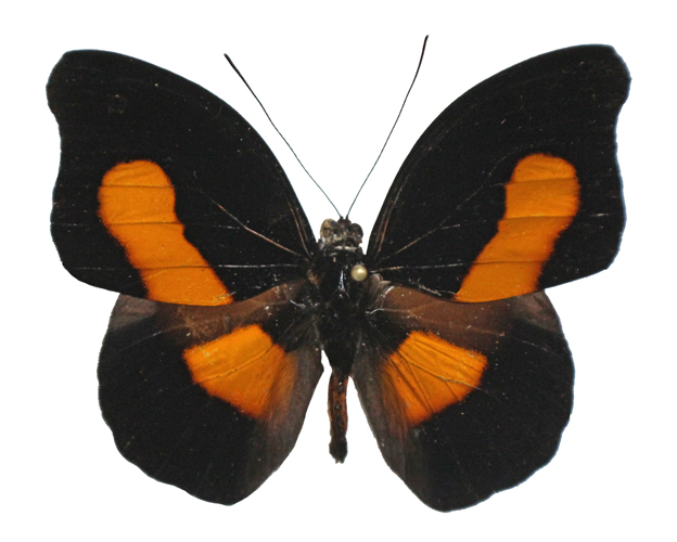 Catalog #20B0154M: Catonephele acontius (upperside) (click to close)