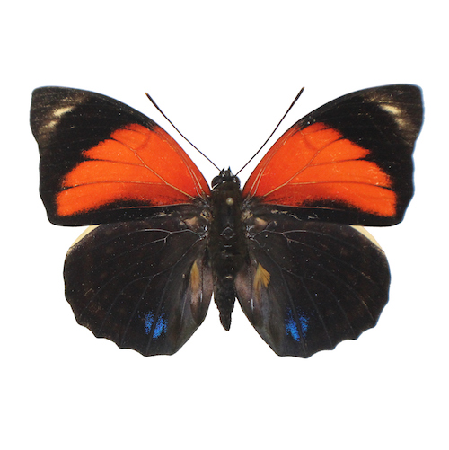 Catalog #20B0248: Agrias amydon aristoxenus (upperside) (click to close)