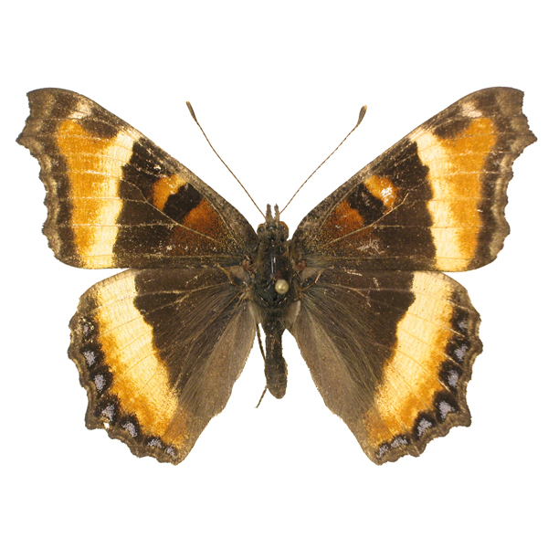 Catalog #20B0283: Aglais (=nymphalis) milberti furcillata (upperside) (click to close)