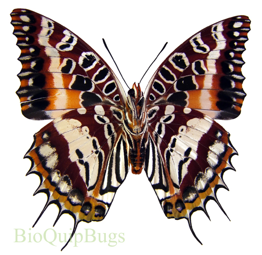 Catalog #20B0426F: Charaxes andranadorus (underside) (click to close)