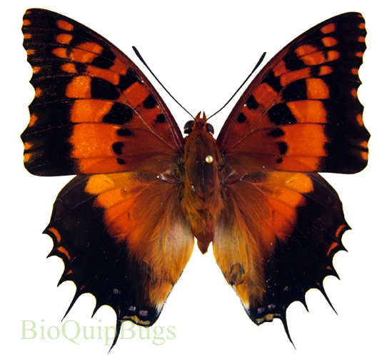 Catalog #20B0426M: Charaxes andranadorus (upperside) (click to close)