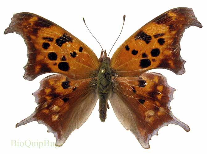 Catalog #20B0540: Polygonia interrogationis (upperside) (click to close)