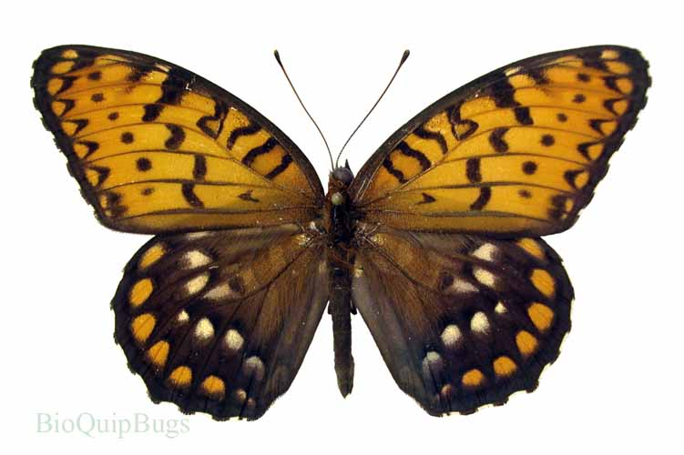 Catalog #20B0859M: Speyeria idalia (upperside) (click to close)
