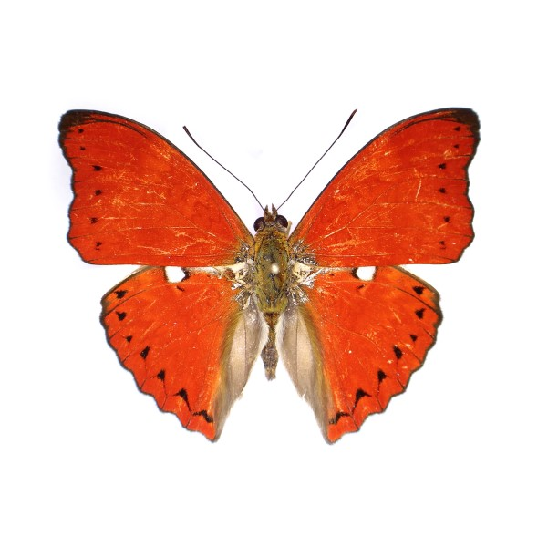Catalog #20B1244: Cymothoe excelsa (upperside) (click to close)