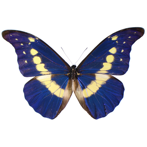 Catalog #2B0004: Morpho rhetenor helena (Upperside) (click to close)