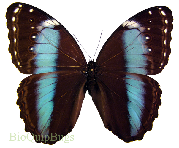 Catalog #2B0072: Morpho achilles (upperside) (click to close)