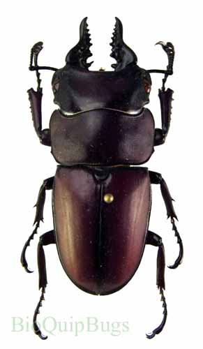 Catalog #2C0264P: Prosopocoilus natalensis (male) (click to close)