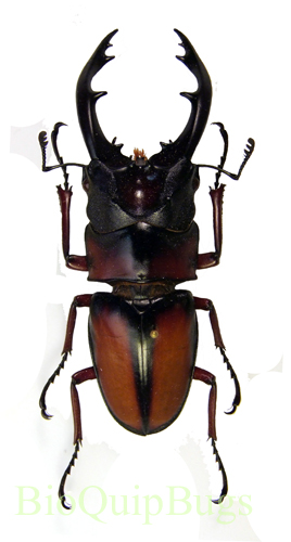 Catalog #2C0566P: Prosopocoilus sp  (male) (click to close)