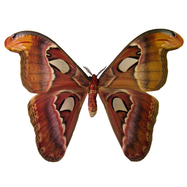 Catalog #2H0002F: Attacus atlas (Upperside) (click to close)
