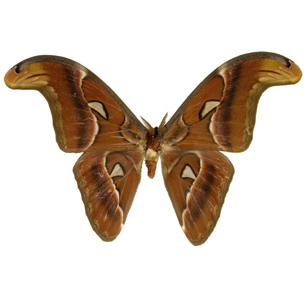 Catalog #2H0002M: Attacus atlas (Upperside) (click to close)