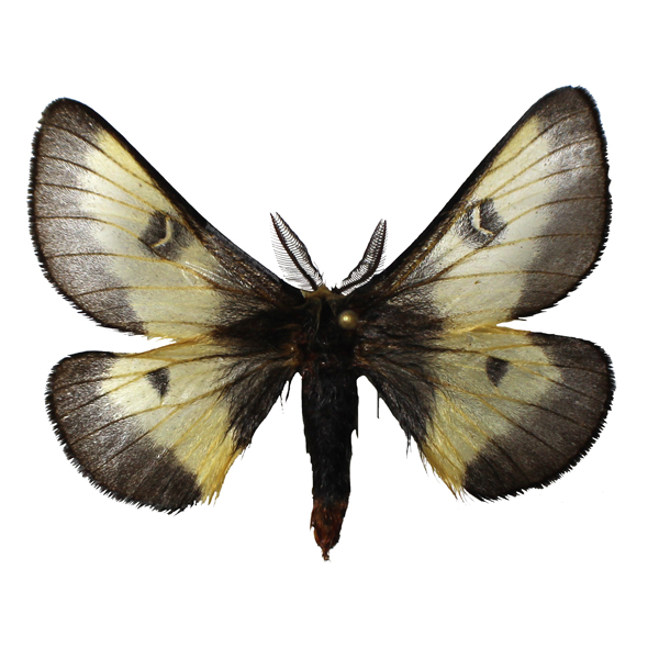 Catalog #2H0065M: Hemileuca nevadensis (upperside) (click to close)