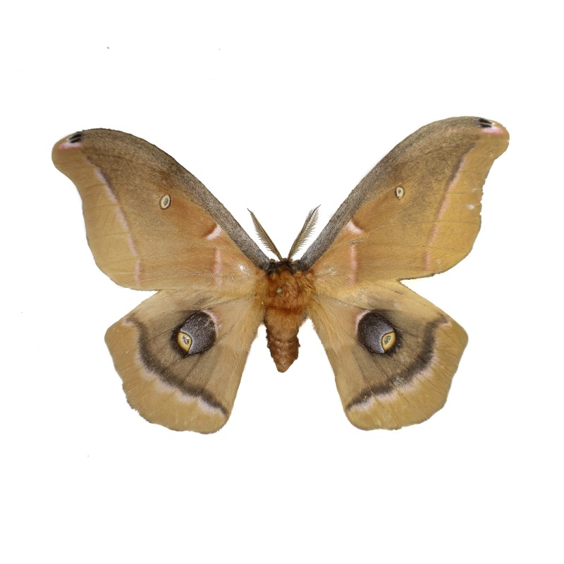 Catalog #2H0105M: Antheraea polyphemus polyphemus (Upperside) (click to close)