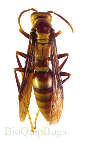 Catalog #62J0010A: Polistes major (click to close)