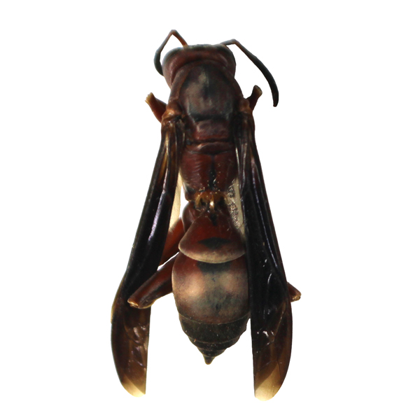 Catalog #62J0012: Polistes annularis (click to close)