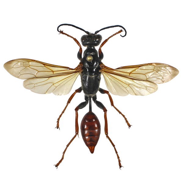 Catalog #65J0125: Sphecidae sp (click to close)