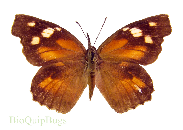 Catalog #8B0001: Libytheana carinenta (upperside) (click to close)